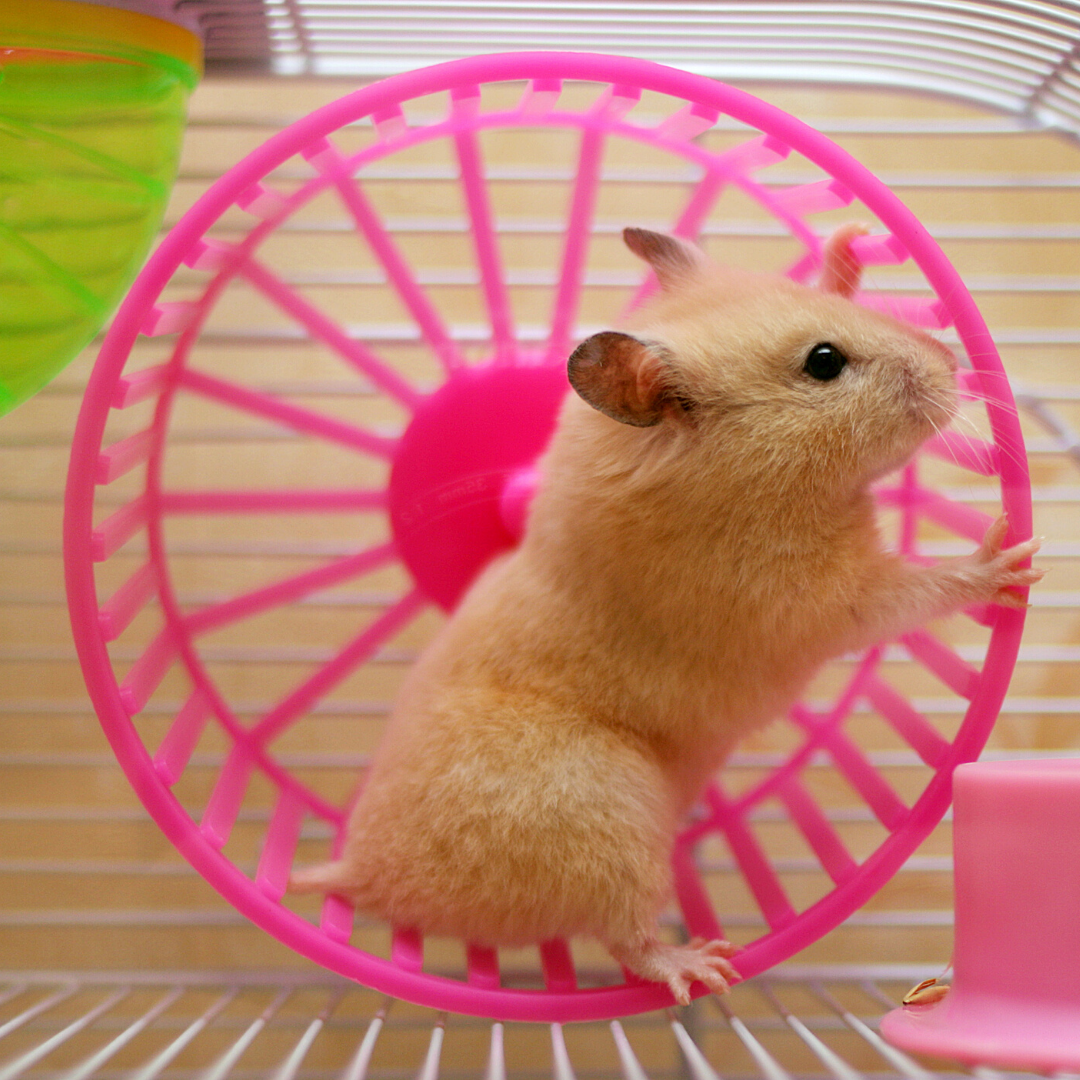 Oh To Be A Hamster In A Pink Wheel From The Dadeland Station Petsmart In 2020 Hamster Pet Sitters Pet Care
