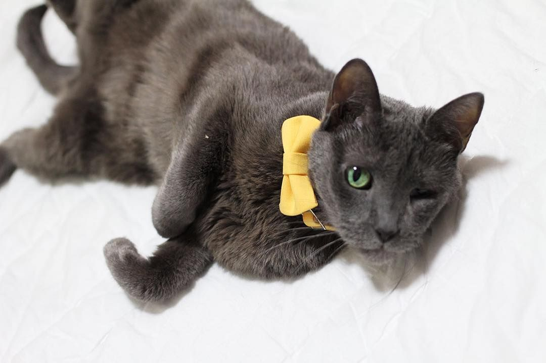 #handmade #bowtie #cat #russianblue #catlover #catstagram #lovelynao #러시안블루 #고양이 #냥스타그램 #핸드메이드 #보타이 by lovelynao_ny