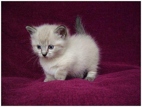 Extrêmement 30 photos de Munchkins, une race de chat unique qui reste bébé  JJ57