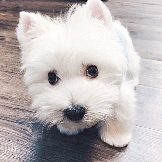 Pin By Elaine Kinsman On Sweet White Angels In 2020 Westie Dogs Cute Dogs Cute Puppies
