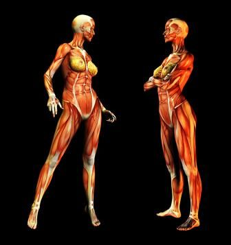 muscular system information – citybeauty, Muscles