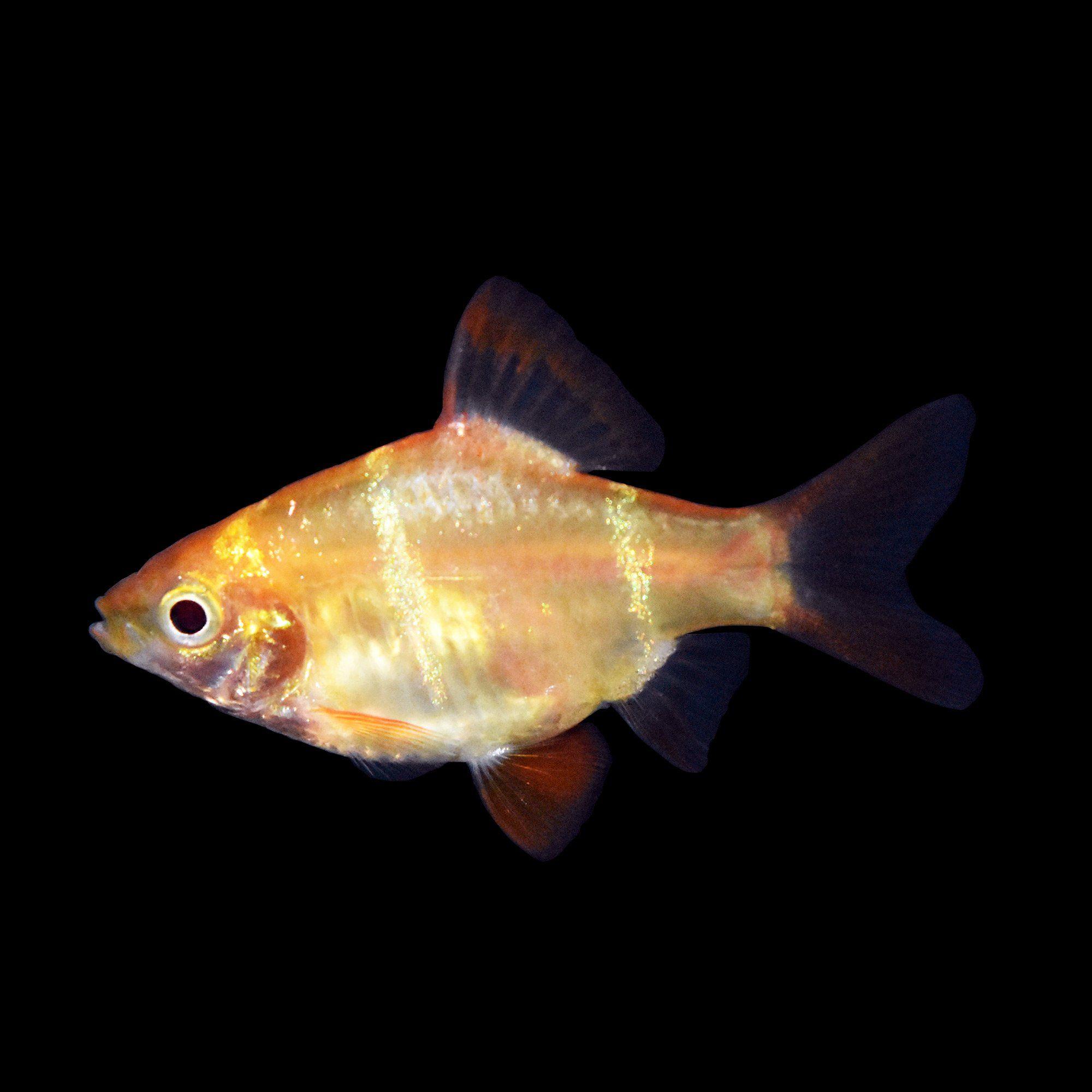 Albino Tiger Barb For Sale Order Online Petco Albino Petco Tropical Fish