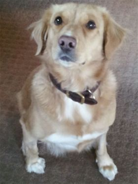 This Is Addie A 3 Yr Old Golden Mix She Was An Owner Surrender