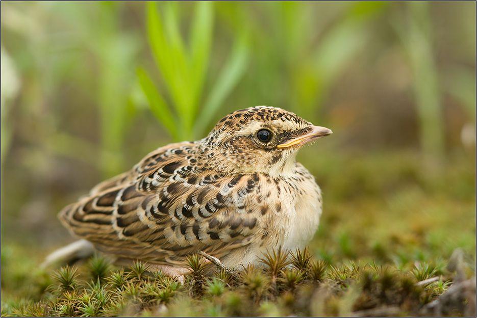 Feldlerche Alauda Arvensis Sparrow Bird Heimische Vogel