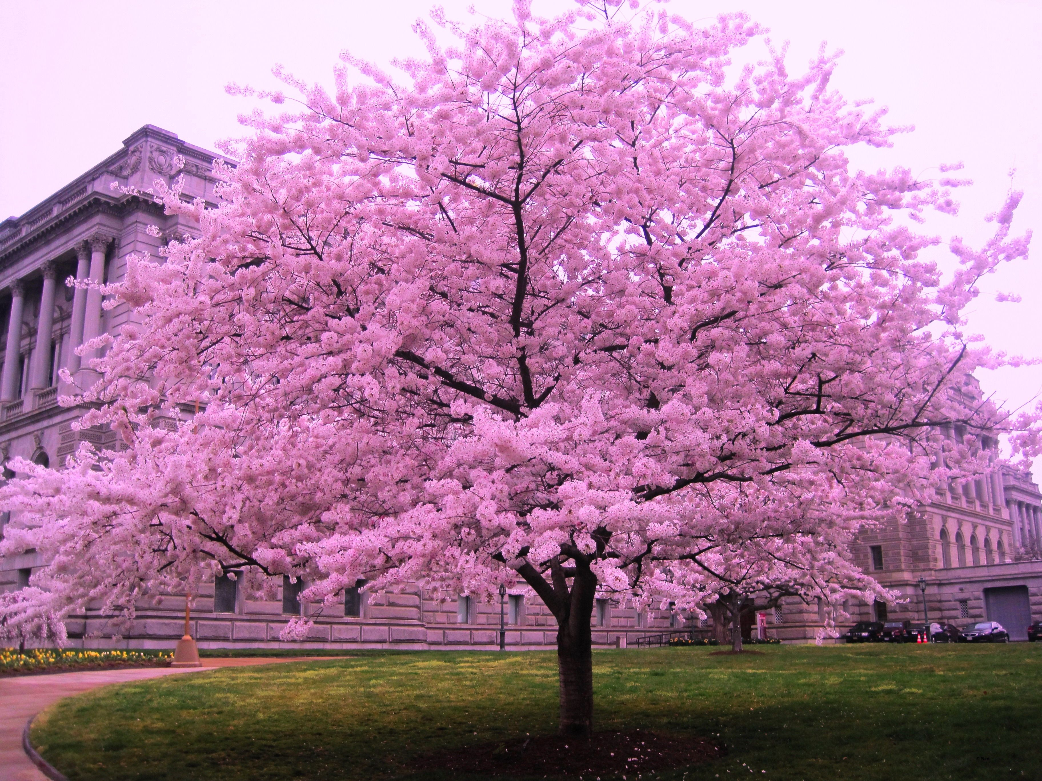 Cherry Blossom Trees To Dream Of Cherry Blossom Tree Represents Situations In Your Life That Are Perfe Pink Blossom Tree Cherry Blossom Tree Cherry Blossom Art
