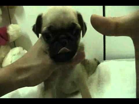 Teacup Pug Puppy For Sale I Need You Pug Puppies For Sale Pug