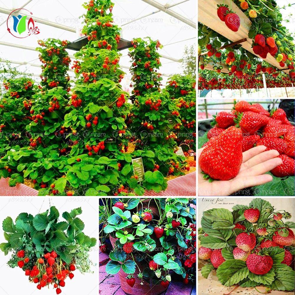 600 Stks Red Giant Klimmen Aardbei Zaden Fruit Zaden Voor 400 x 300