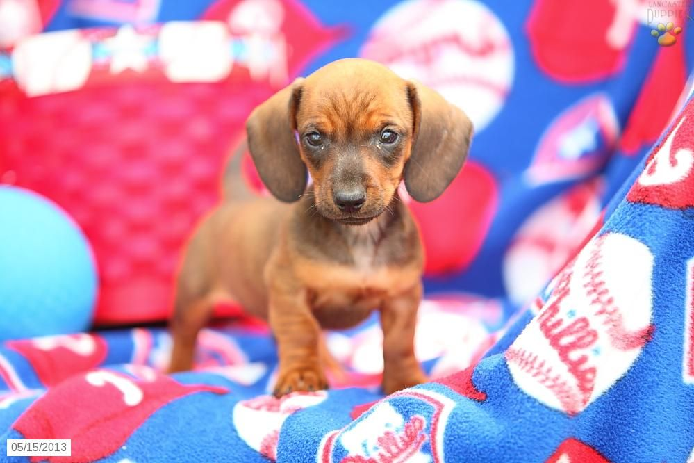 Let S Go Phillies Dachshund Puppies For Sale Puppies Cute Baby Animals
