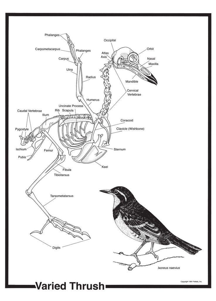 Bird Skeleton Poster By Pellets Inc