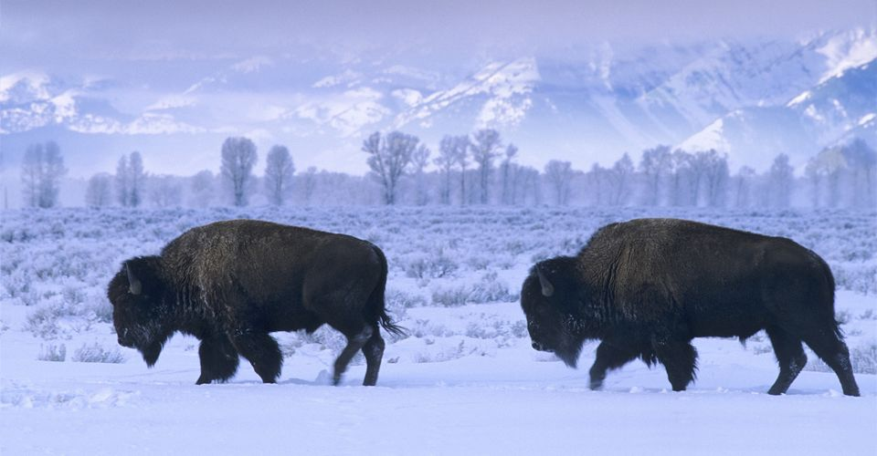 Yellowstone Winter Photo Expedition American Bison