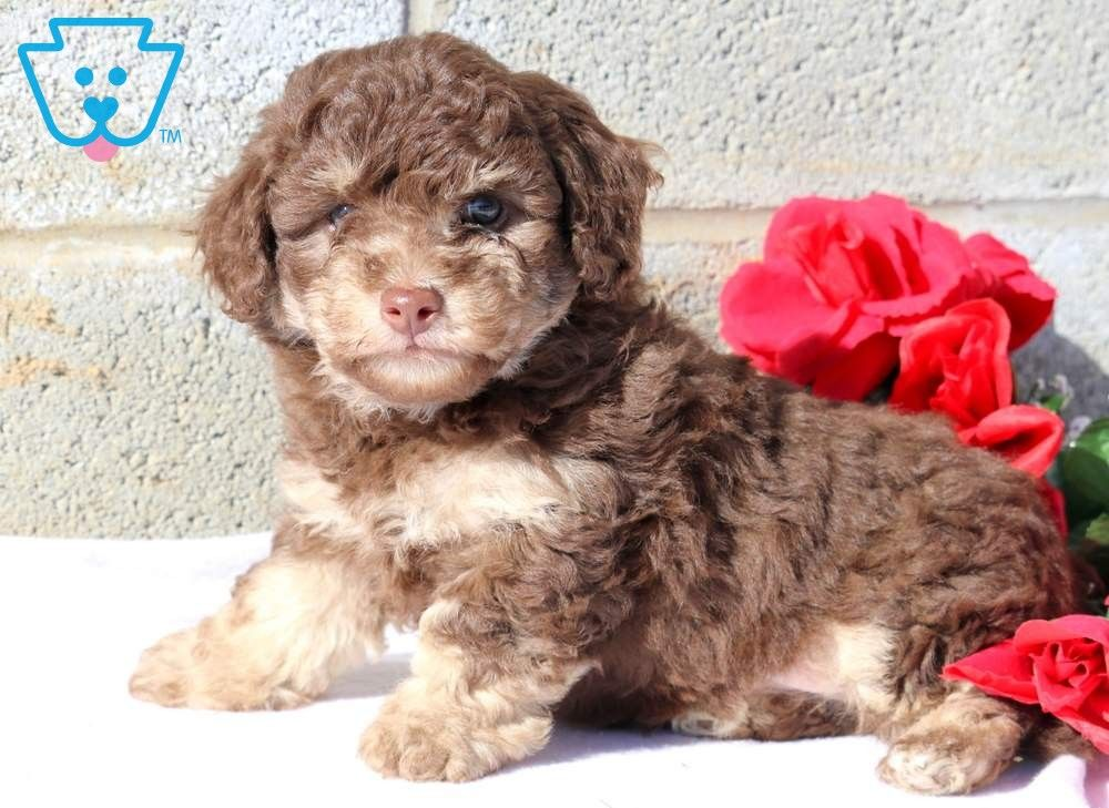 Leo Toy Puppies Toy Puppies For Sale Poodle Puppies For Sale