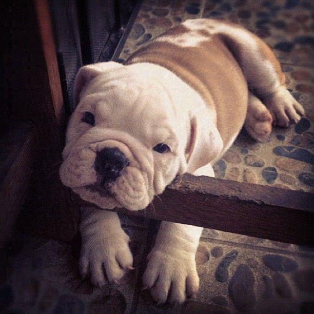 Bulldog Cute Animals Bulldog Cute Puppies