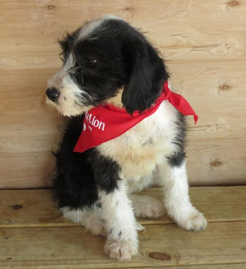 Border Collie Standard Poodle Mix Ky Omg Can You Imagine The Iq This Dog Is Probably Brilliant Would Make A Wonde Standard Poodle Mix Puppy Time Poodle Mix