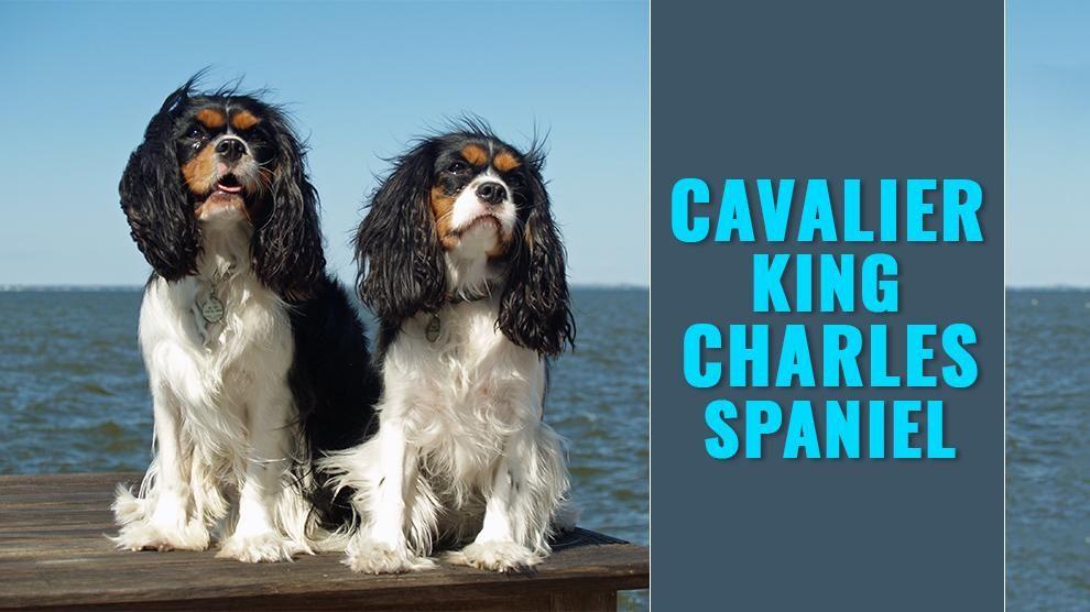 Cavalier King Charles Spaniel Cavalier King Charles Cavalier