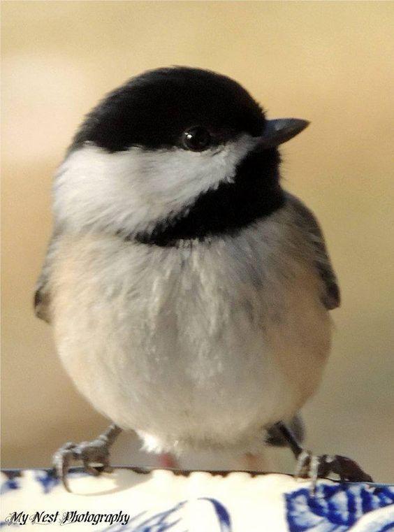 Beautiful Realistic Chickadee Tattoo By Australian Realism: Birds Painting, Birds, Bird Feathers