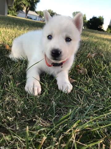 Litter Of 8 Siberian Husky Puppies For Sale In Moravia Ia Adn
