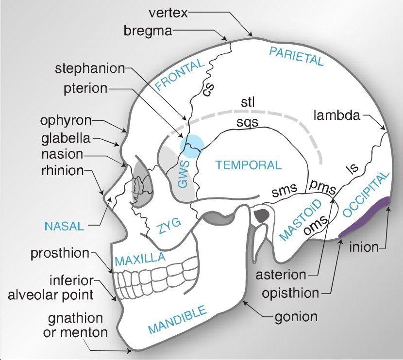 Pin von Howard Farran DDS, MBA auf Dental Anatomy | Pinterest | Schädel