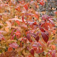 Gillenia Trifoliata Dreiblattspiere Lovely Perennial With Autumn