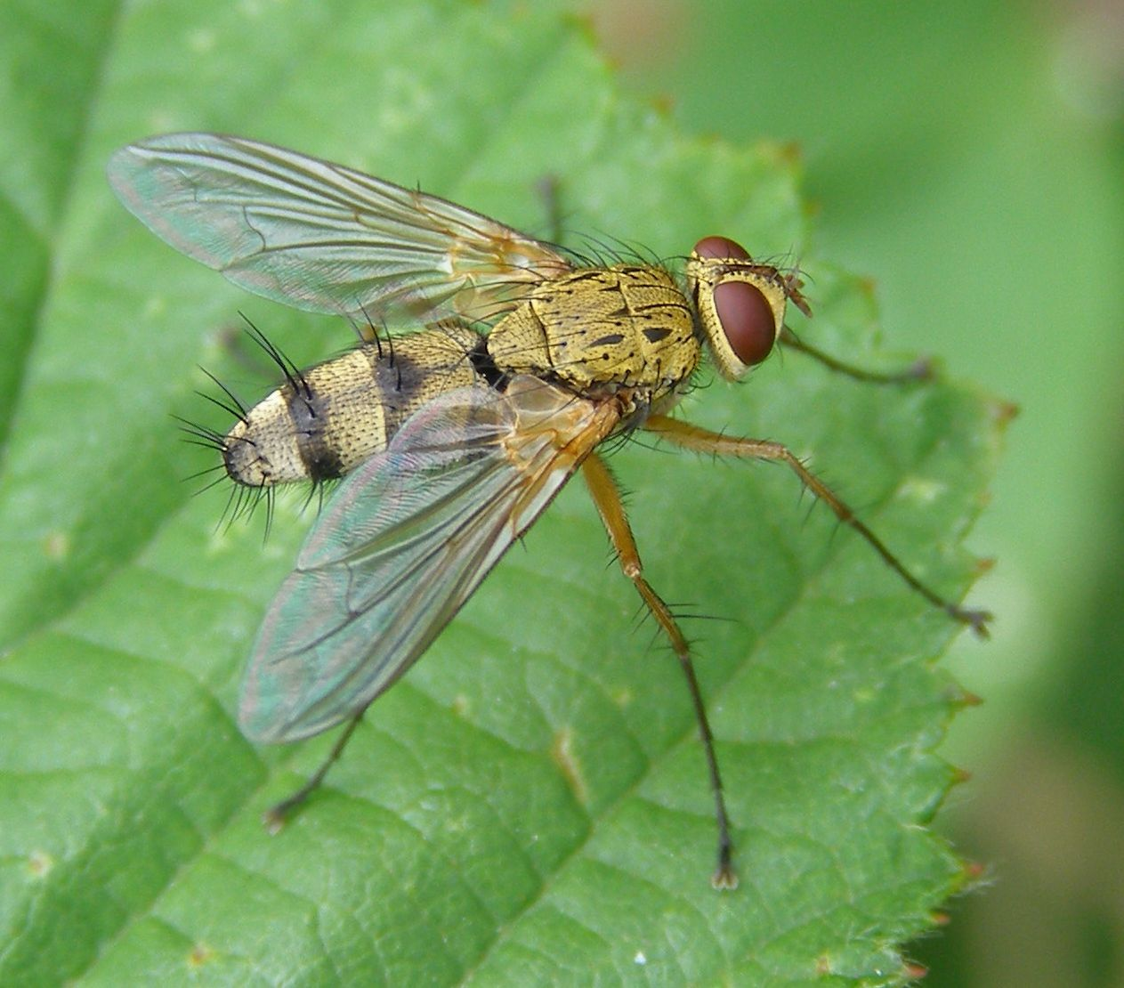 Tachinid Fly Small flies in house, Garden insects, Lawn