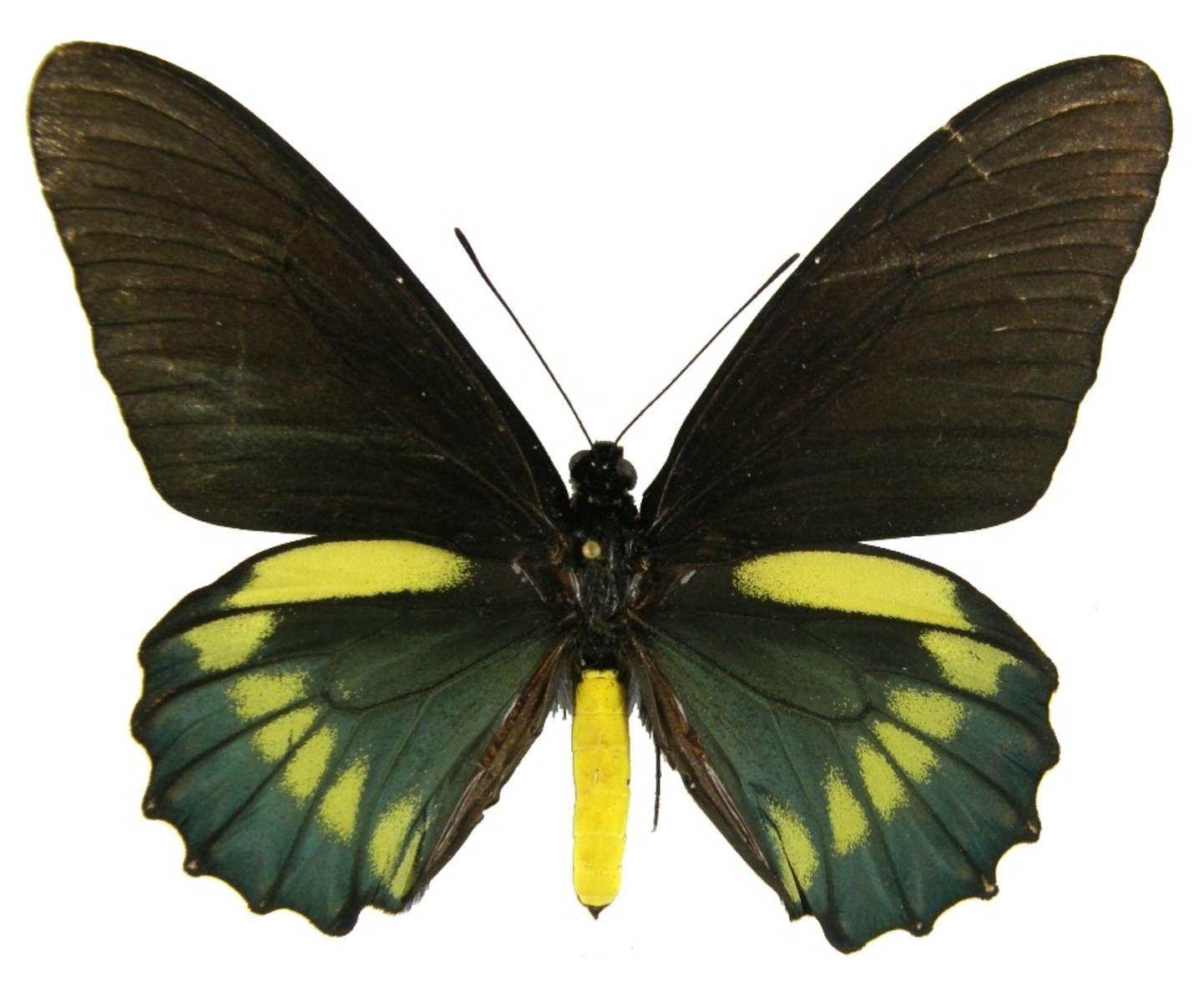 ButterflyCorner.net: Battus belus