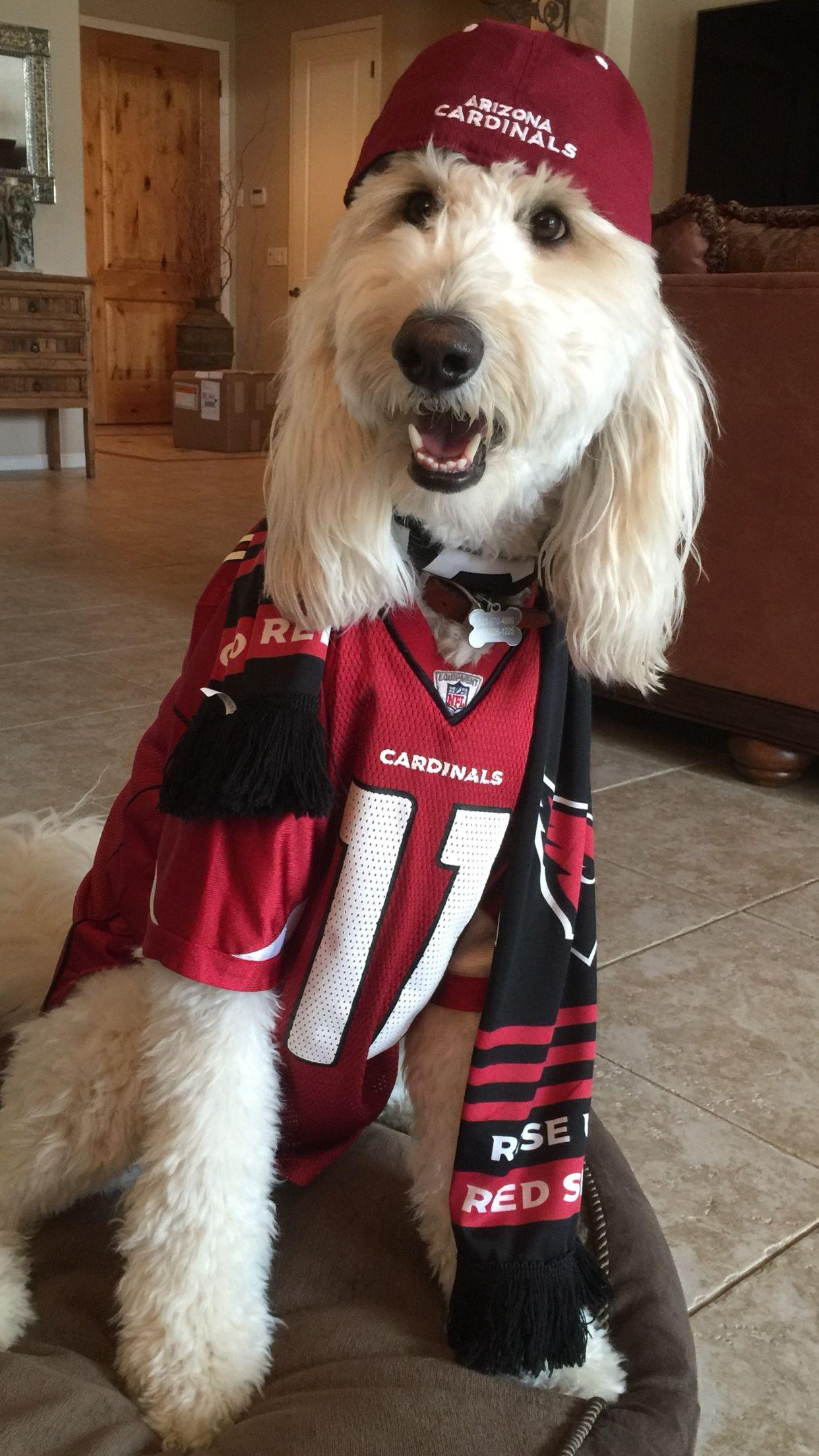 Goldendoodles love football! Arizona Cardinals! Mini
