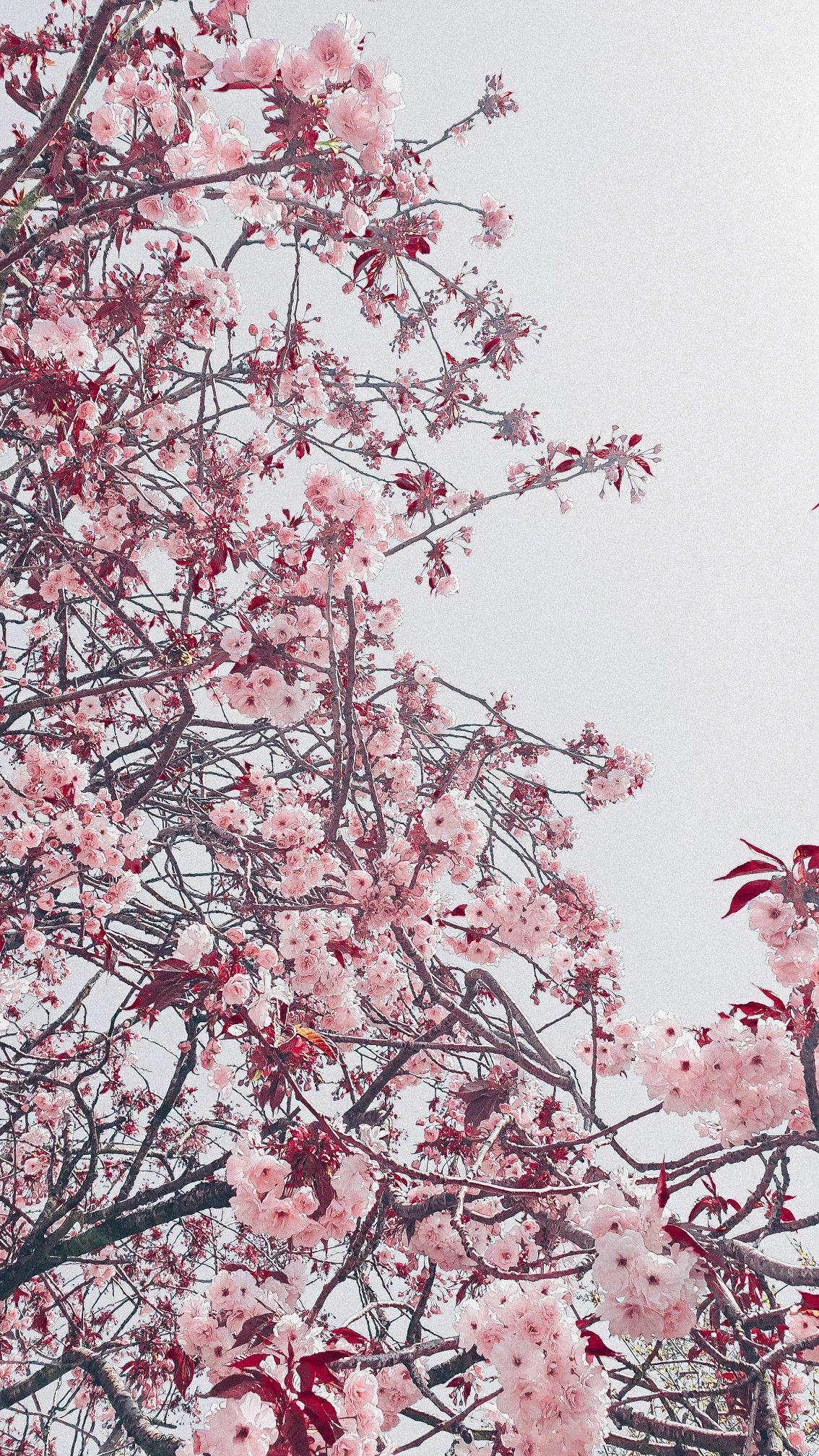 Cherry Blossom Aesthetic Gray Pink Sakura Cherry Blossom Wallpaper Iphone Cherry Blossom Wallpaper Cherry Blossom Japan
