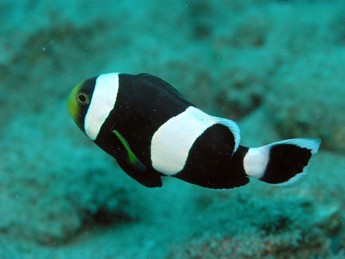 Saddleback clownfish Wikipedia Clownfisch, Glückliche