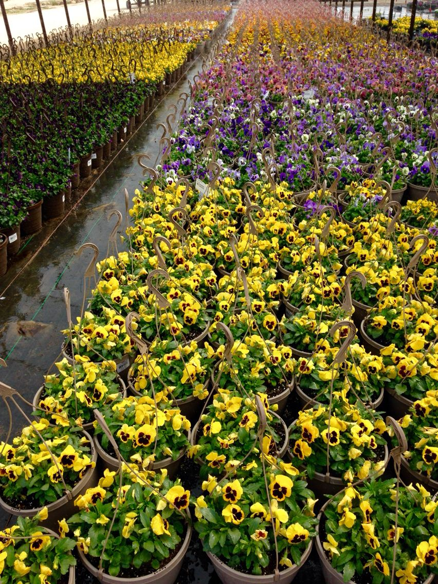 1 50 Gallon Pansy Hanging Baskets At Our Mansfield Tx Facility