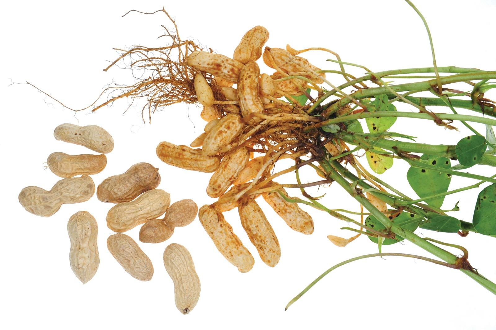 Peanut Plant Showing Peanuts Stems Roots And Leaves