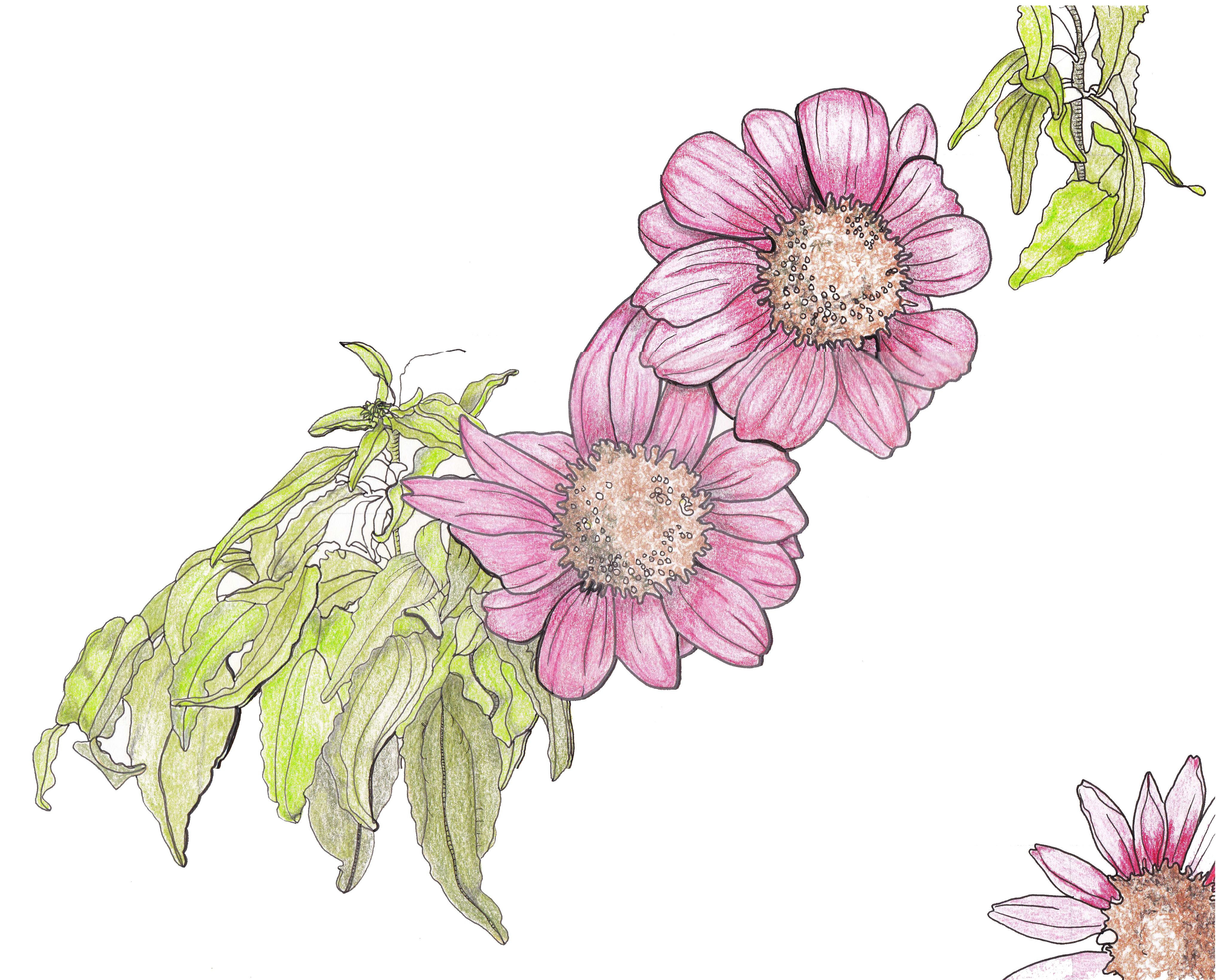 Daisy Flower Line Drawing : Line drawing flowers purple daisies drawings