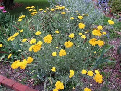 Yarrow bushy perennial flower collecting the seeds cottage yarrow bushy perennial flower collecting the seeds mightylinksfo
