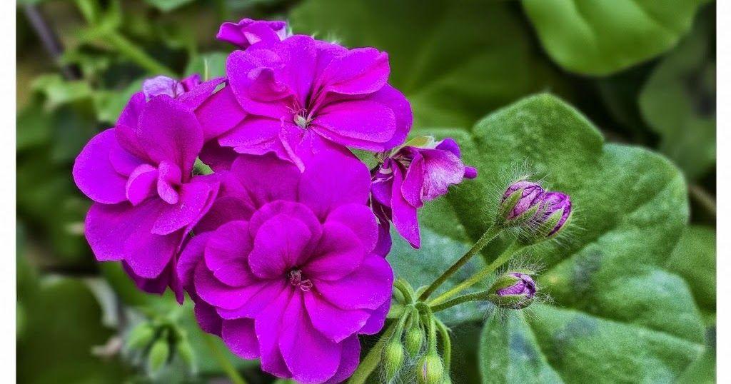 çiçek Bakımı çiçek çeşitleri çiçek Türleri çiçek Isimleri Ev