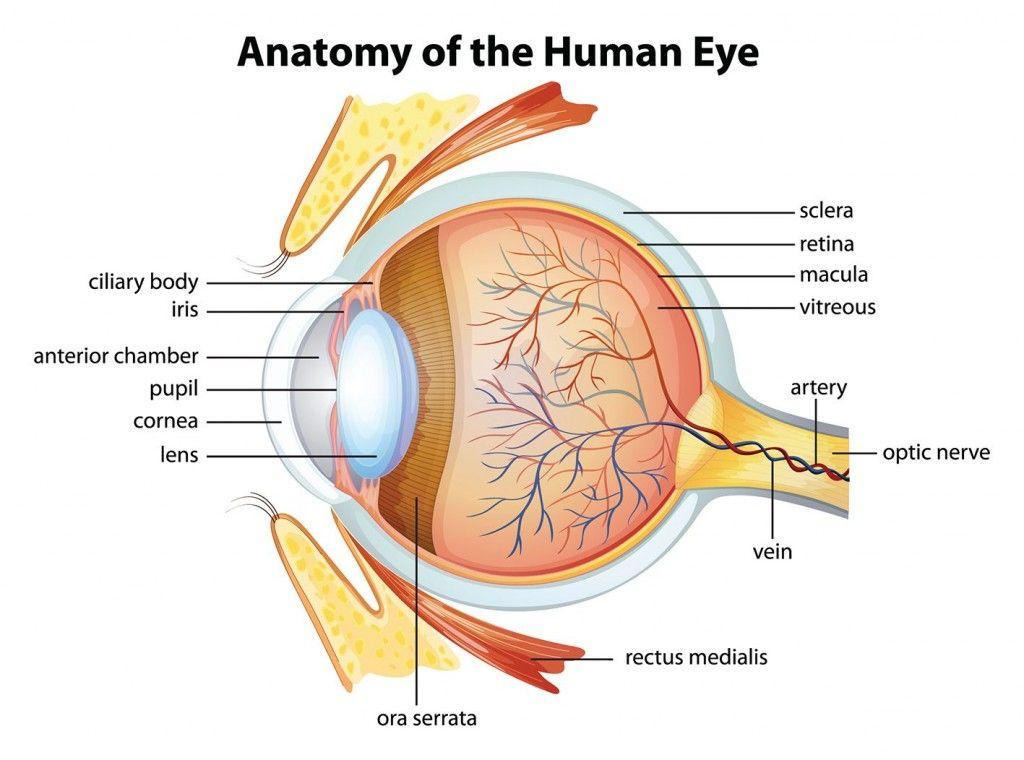 Mengenal Bagian Bagian Mata Beserta Fungsinya Mata