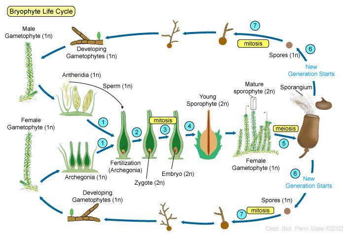 Plants II Seedless Vascular Plants BIOL 110 – Vascular and Nonvascular Plants Worksheet