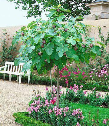 Feigenbaum Stammchen Feigen Bei Baldur Garten Garten Pflanzen Mediterraner Garten Feigenbaum