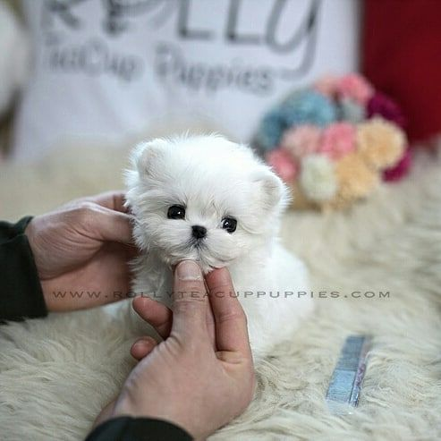 Rolly Teacup Puppies Kaufen