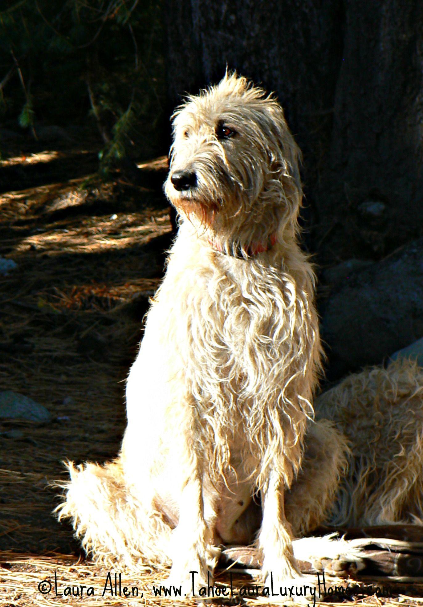 fawn irishfawn irish wolfhound, fawn irish wolfhound puppies, fawn irish, fawn irish acting coach, fawn irish insidious, fawn irish insidious 3, fawn irish actress, fawn irish setter, wheaten fawn irish wolfhound, wheaten fawn irish wolfhound greyhound, fawn meaning irish, fawn in irish language, fawn translation irish