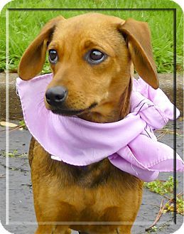 Sacramento Ca Dachshund Italian Greyhound Mix Meet Lexie