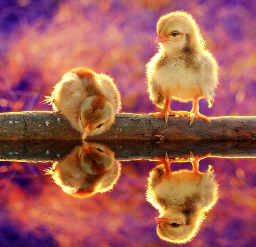 Сделать открытку, веселые картинки с цыплятами