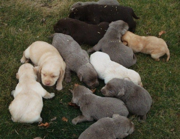 2 Week Old Lab Puppies Chocolate Yellow Silver Lab Puppies Cute Animals Cute Puppies