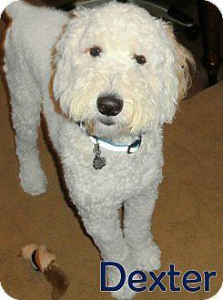 New Jersey Nj Goldendoodle Standard Poodle Mix Meet Jackson Nj Dexter A Dog For Adoption Dog Adoption Standard Poodle Mix Poodle Mix