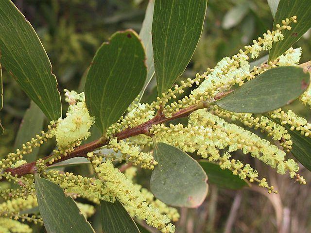 Acacia Sophorae Coastal Wattle Fast Growing And Hardy Plant