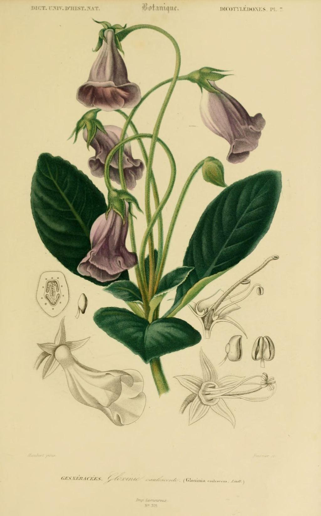 img dessins couleur fleurs dessin botanique de fleur 0195 gloxinie caulescente gloxinia. Black Bedroom Furniture Sets. Home Design Ideas