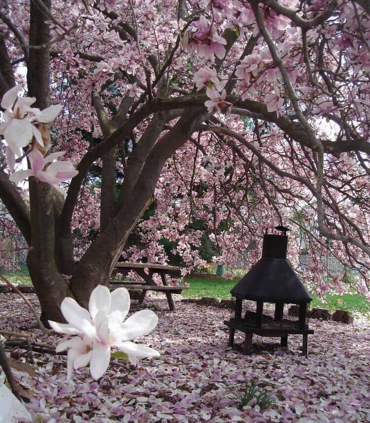 Nai Yee On Twitter Magnolia Trees Garden Trees Backyard Growing