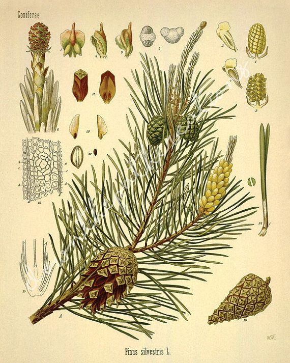 Set of 3 Vintage Coniferous Tree Branch Pine Cone Prints - Cabin ...