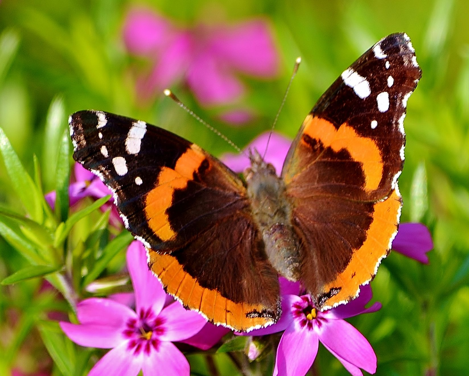 Red Admiral Butterfly | Insects & Butterflies | Pinterest