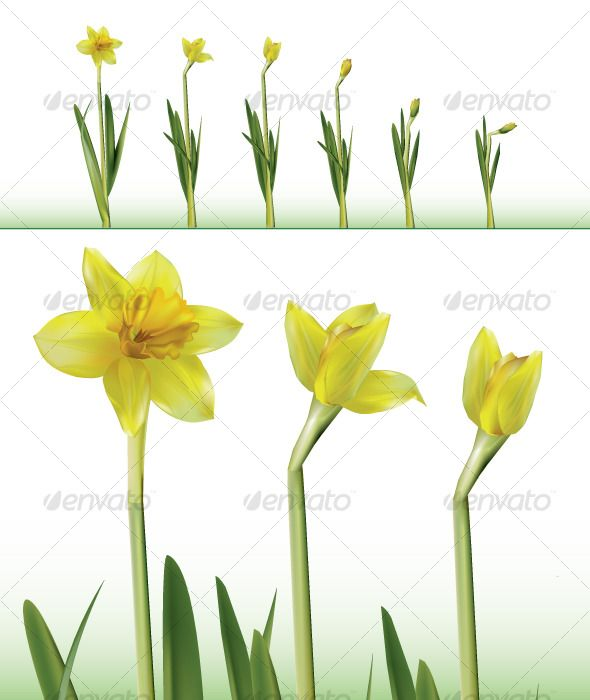 Daffodil Time Lapse Daffodils Daffodil Flower Growing Flowers