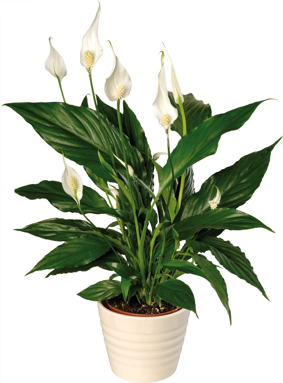 Green Cleaning Peace Lily Topped Nasas List For Removing All Three