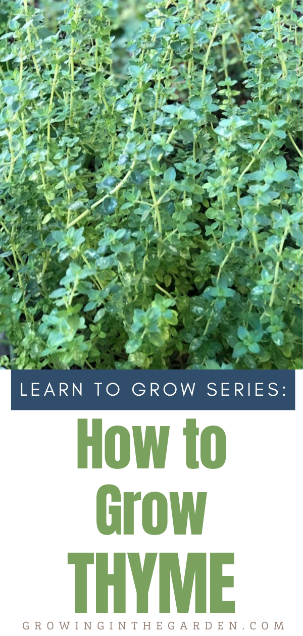 How to Grow Thyme 5 Tips for Growing Thyme is part of Growing thyme, Planting herbs, Perennial herbs, Vegetable garden design, Garden care, Thyme flower - Thyme is my favorite herb use use and grow  This article includes how to grow thyme, and tips for harvesting and using thyme