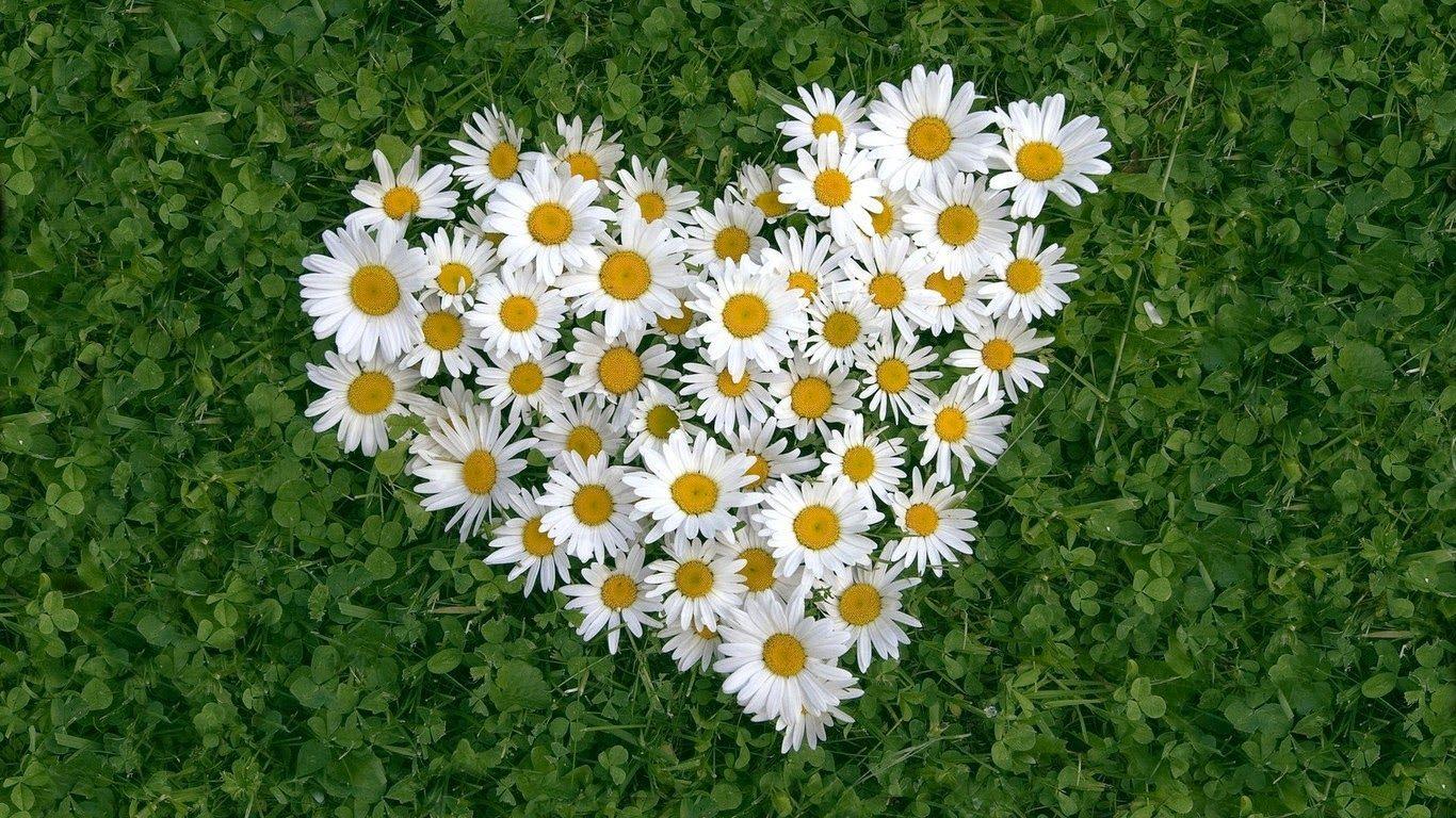 Ý nghĩa của Hoa cúc dại - Blog tình yêu | Hoa cúc họa mi, Hoa cúc, Hình ảnh